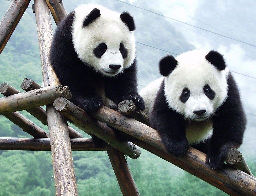 Oso Panda en Peligro de Extinción