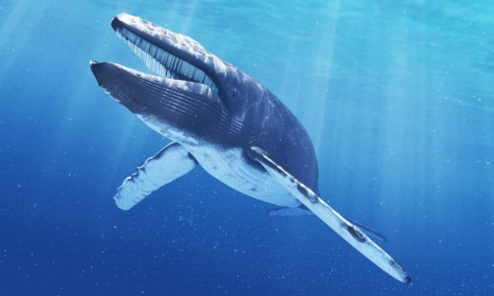 Ballena azul en peligro de extinción