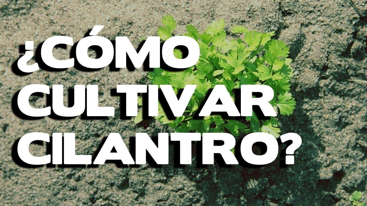 cómo sembrar cilantro sin semillas