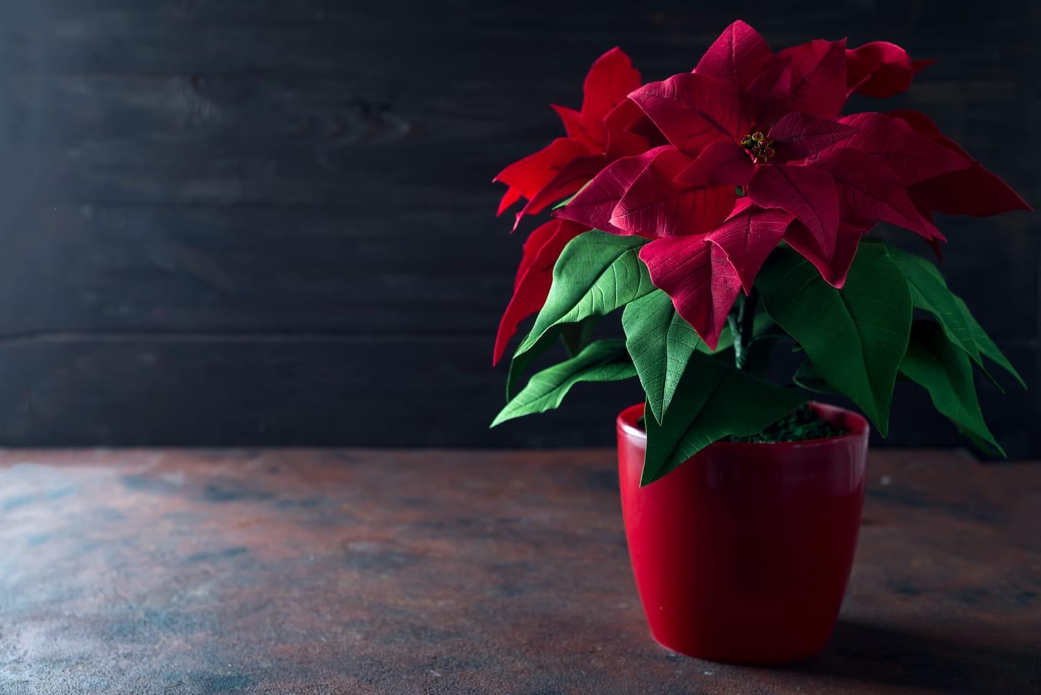 flor de pascua