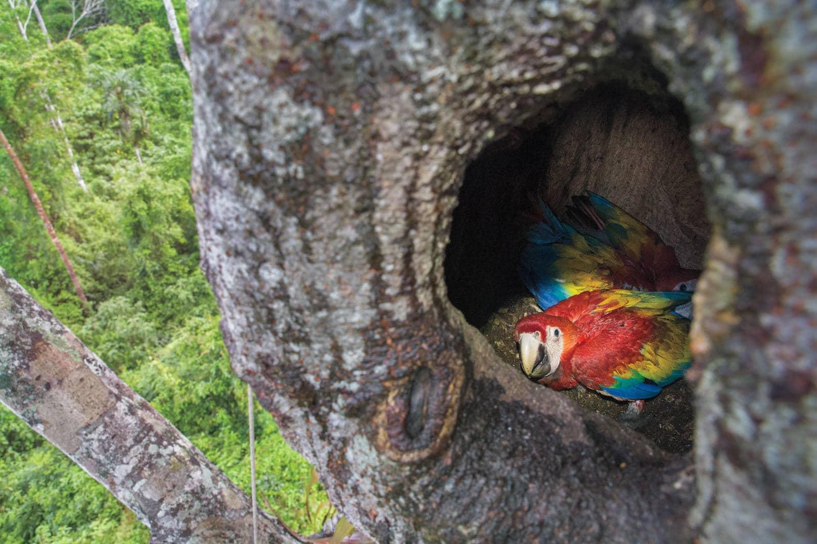 Guacamaya roja en peligro de extinción