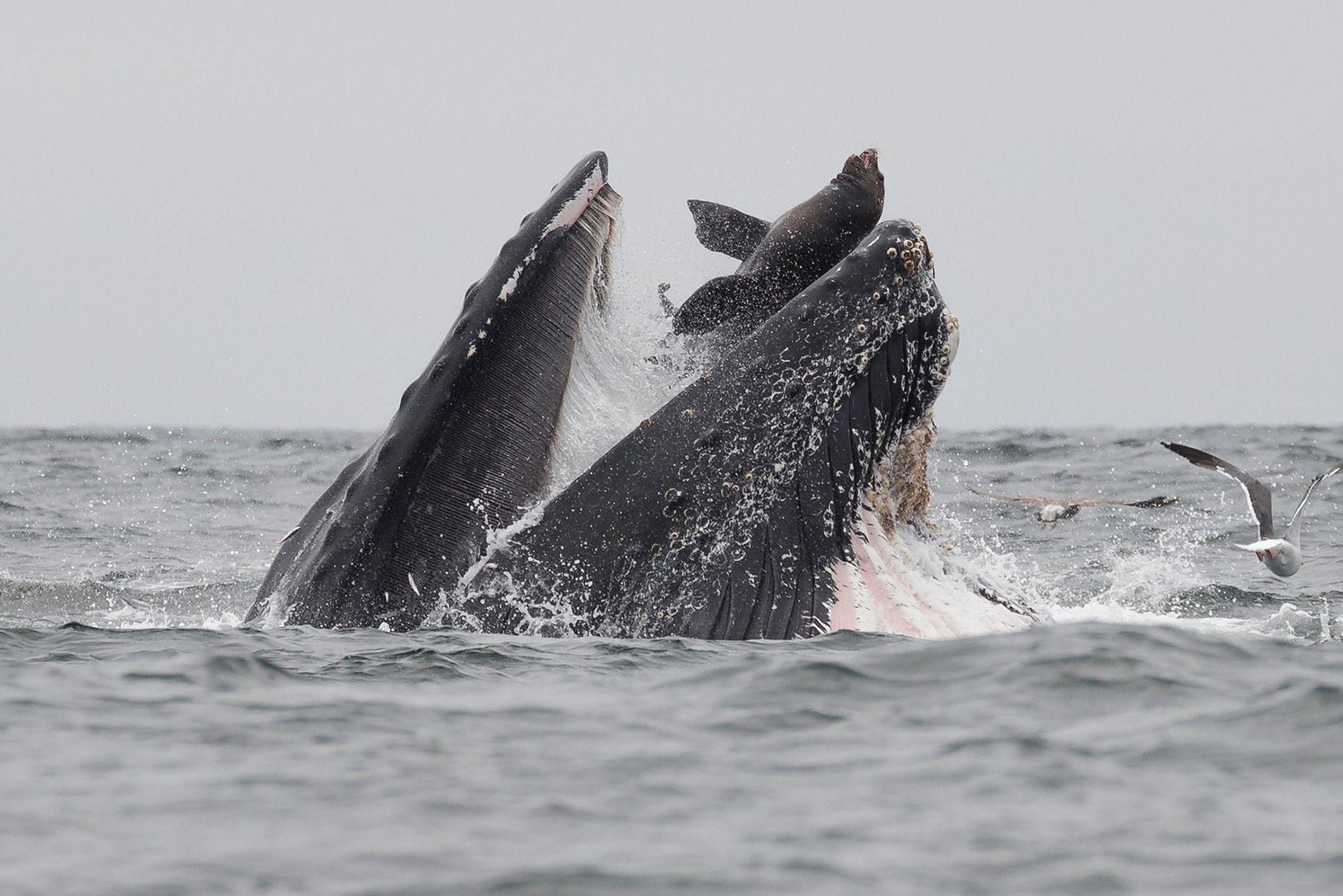 que comen las ballenas