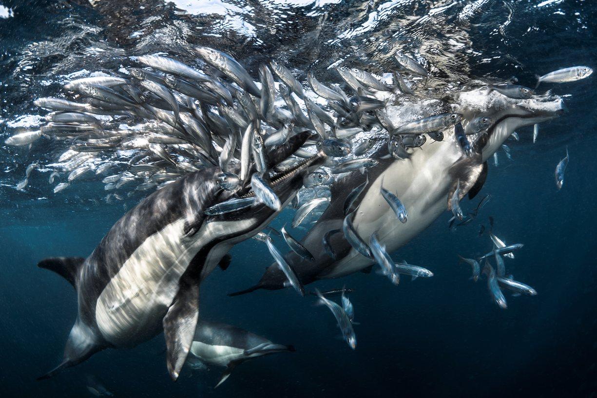 que comen los delfines