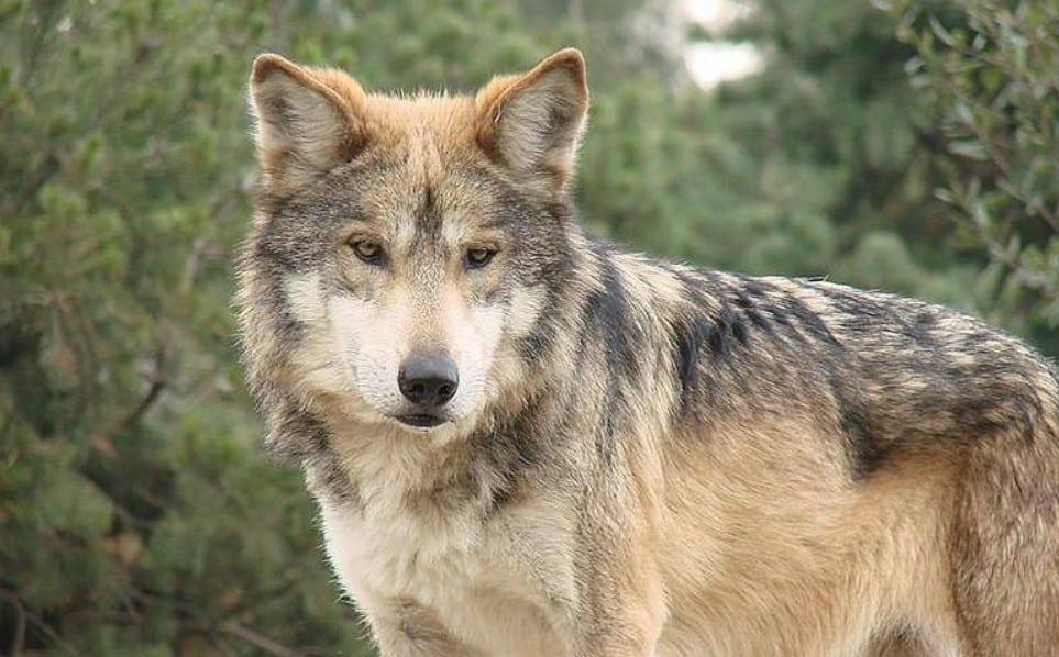 ¿Sabes por qué el lobo gris está en peligro de extinción?