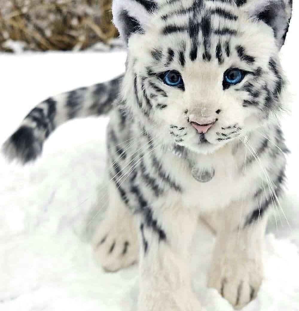Tigre blanco en peligro de extinción