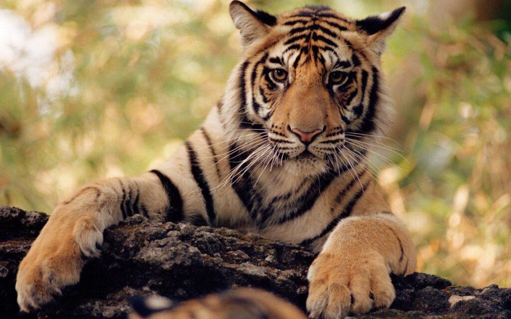 Tigre en peligro de extinción